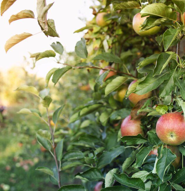 āboli